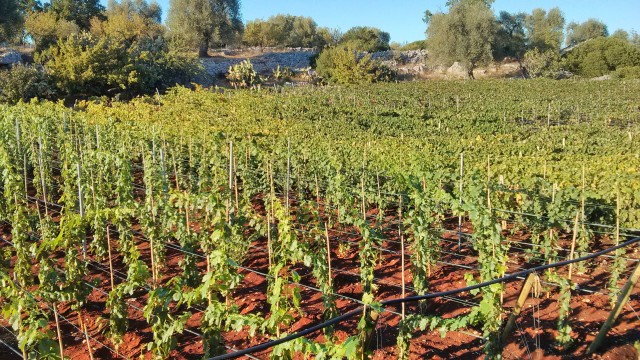 Puglia Wine