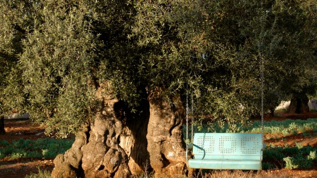 bench and olive tree