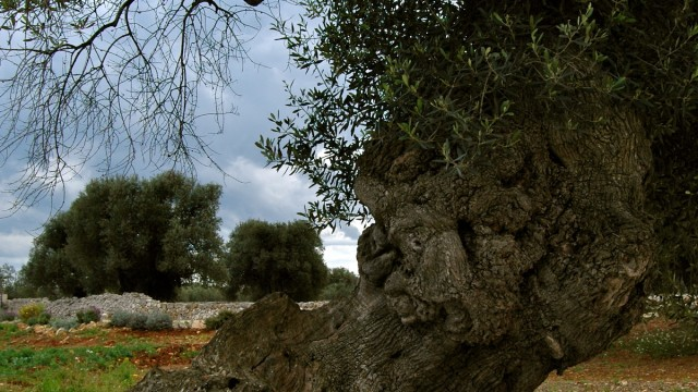olive tree by table
